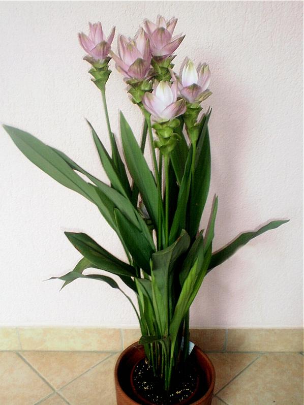 Kurkuma Wąskolistna Kwiaty Doniczkowe