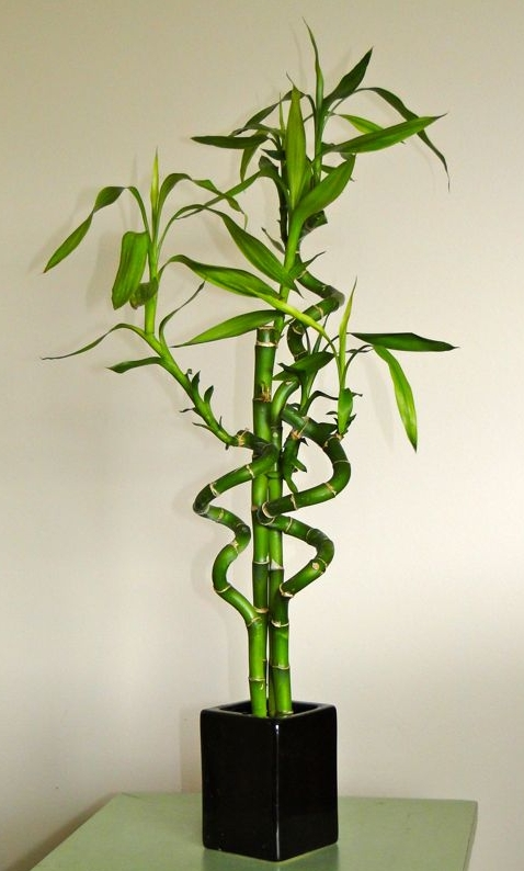 lucky bamboo dracena sandera kwiaty doniczkowe. Black Bedroom Furniture Sets. Home Design Ideas