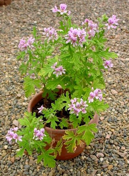 Geranium Anginka Kwiaty Doniczkowe