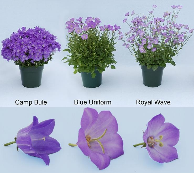 Campanula Isophylla Kwiaty Doniczkowe