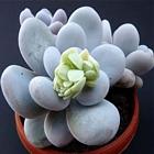 Pachyphytum oviferum__
