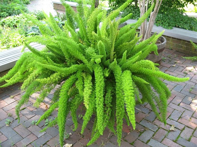 Asparagus densiflorus'Meyerisi'