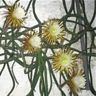 Selenicereus wielkokwiatowy