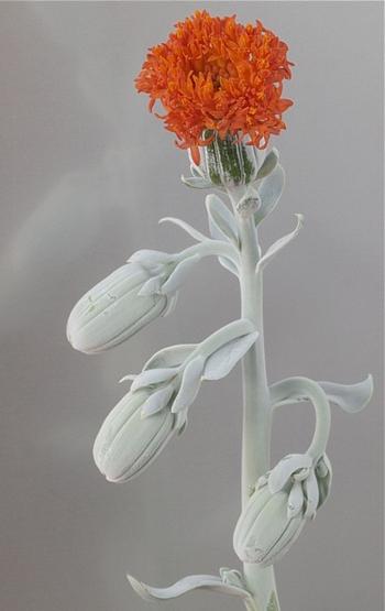pęd kwiatostanowy