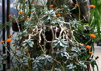 stara roślina