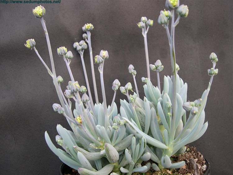 Senecio serpens
