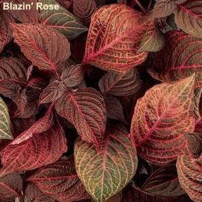 'Blazin Rose'