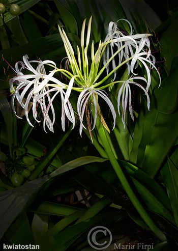 kwiatostan