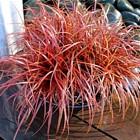 Uncinia czerwonawa
