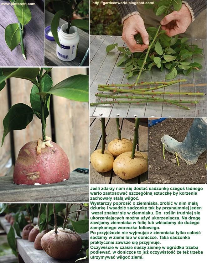 sadzonki-ziemniak